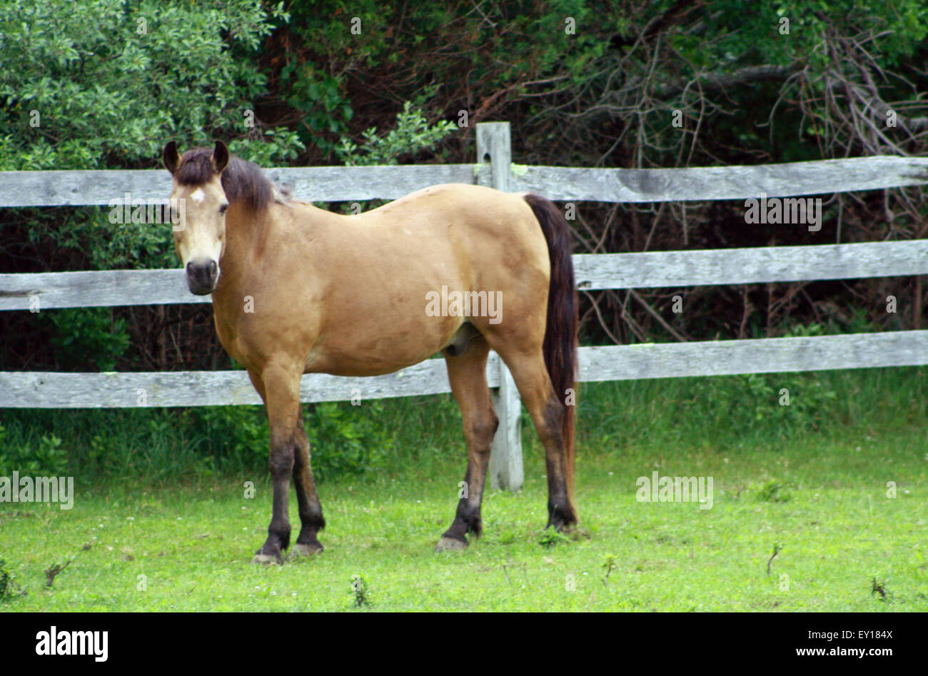 Buckskin Horse with White Star Standing in Green Pasture in the hamptons long island new york - Stock Image