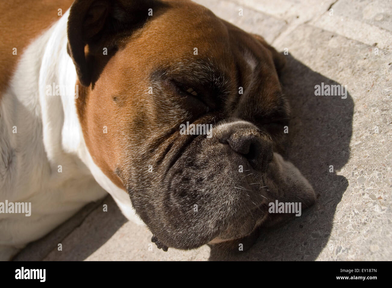 sleeping dog enjoying the sun - Stock Image