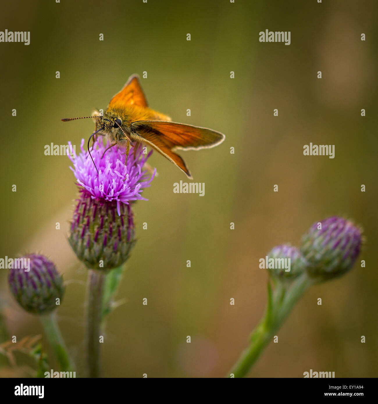 Small skipper butterfly drinking from a thistle flower - Stock Image