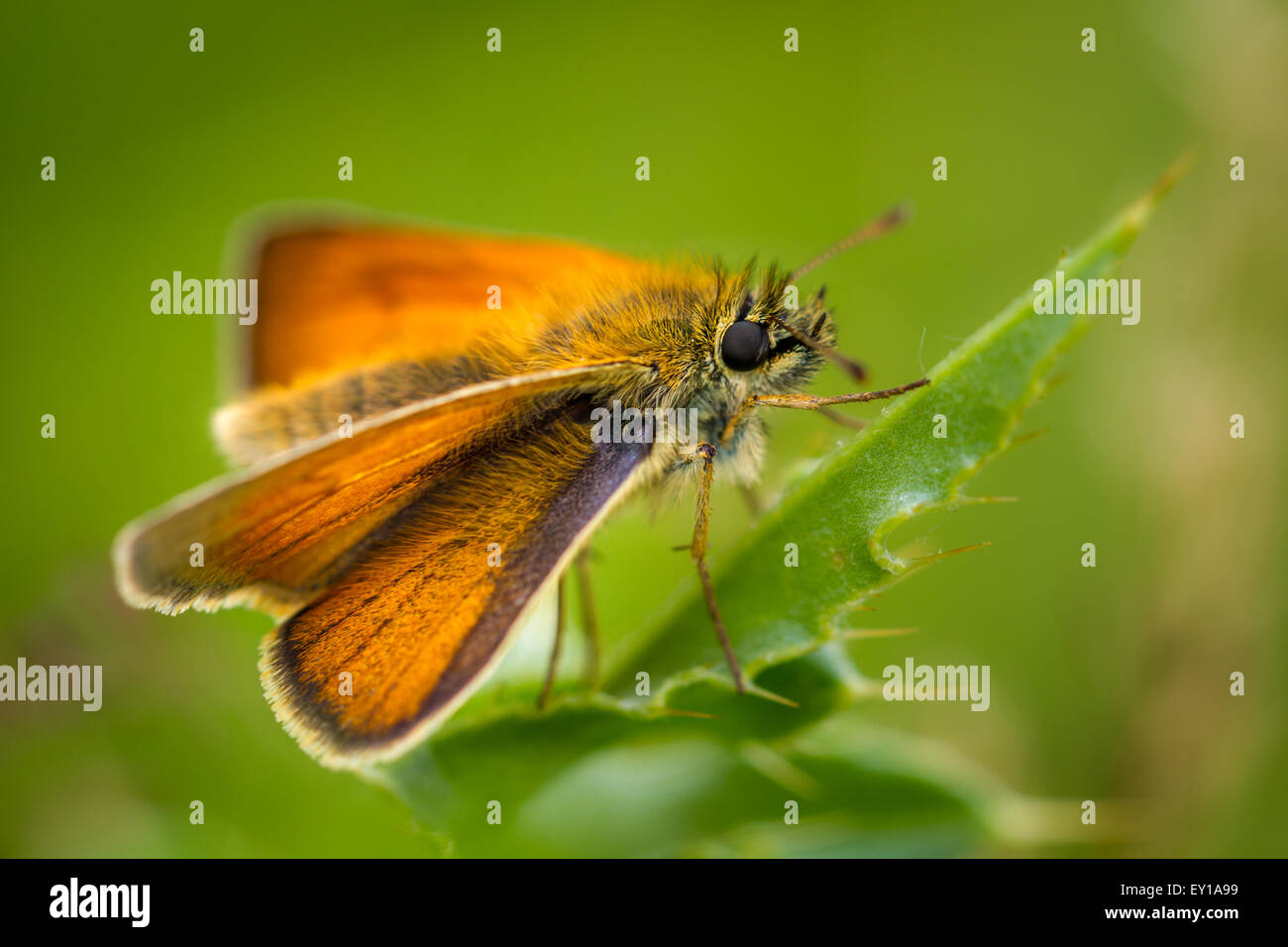 Small skipper butterfly perched on a thistle leaf - Stock Image
