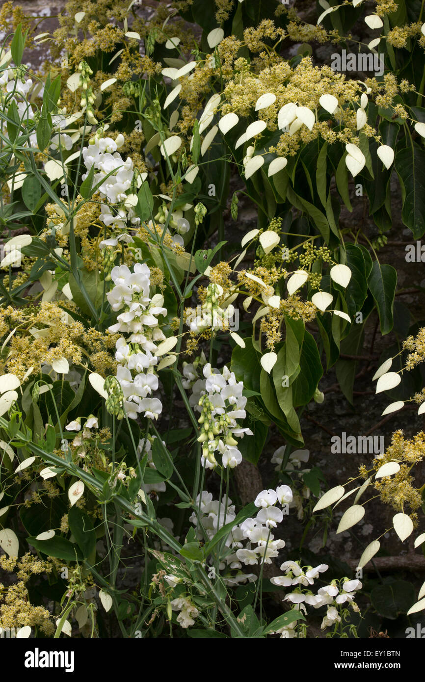 White flowers of Lathyrus latifolius 'White Pearl' clamber through the woody evergreen, Schizophragma integrifolium - Stock Image