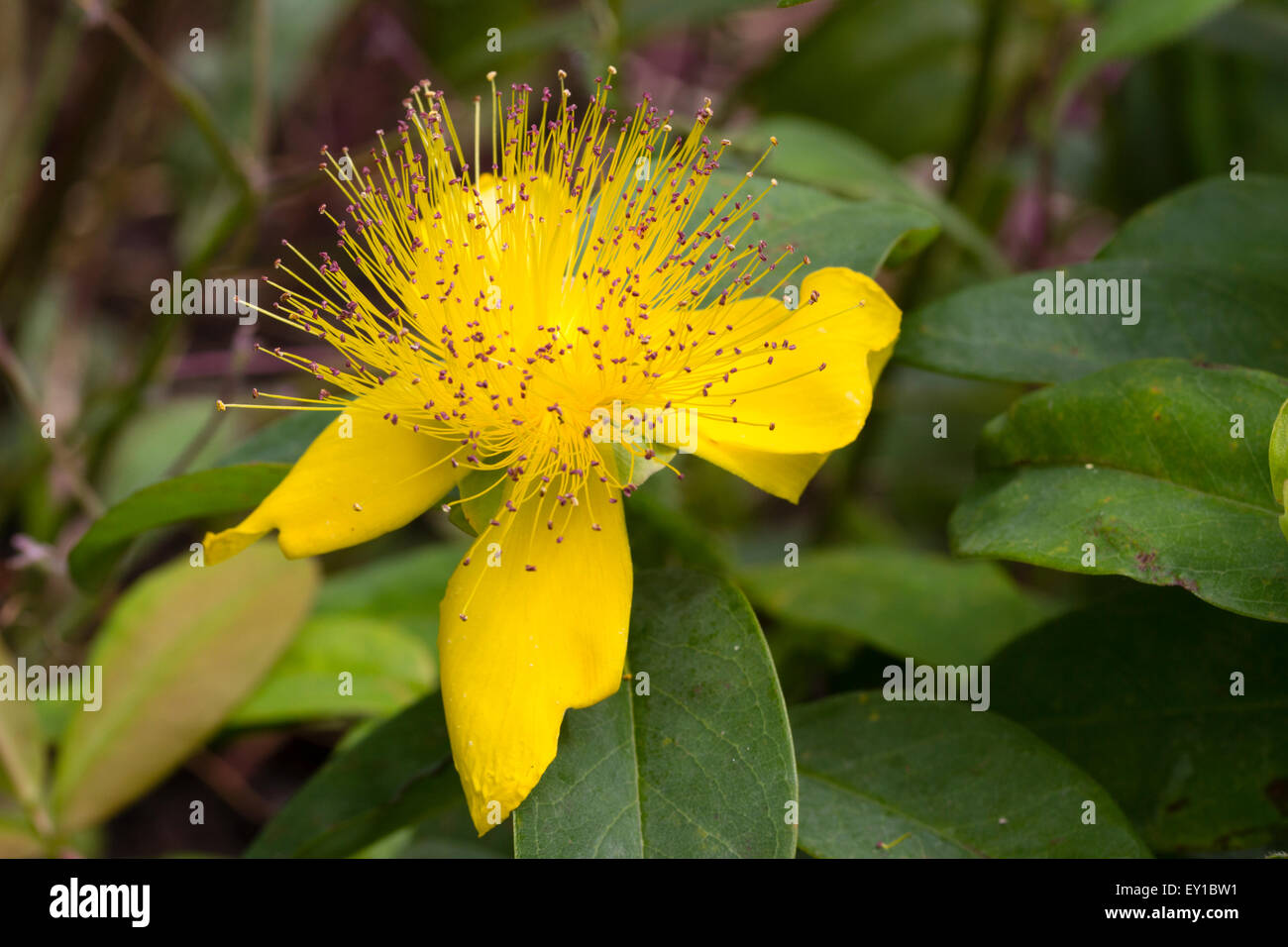 Rose of sharon stock photos rose of sharon stock images alamy attractive yellow flowers of the rose of sharon hypericum calycinum a ground covering shrub mightylinksfo