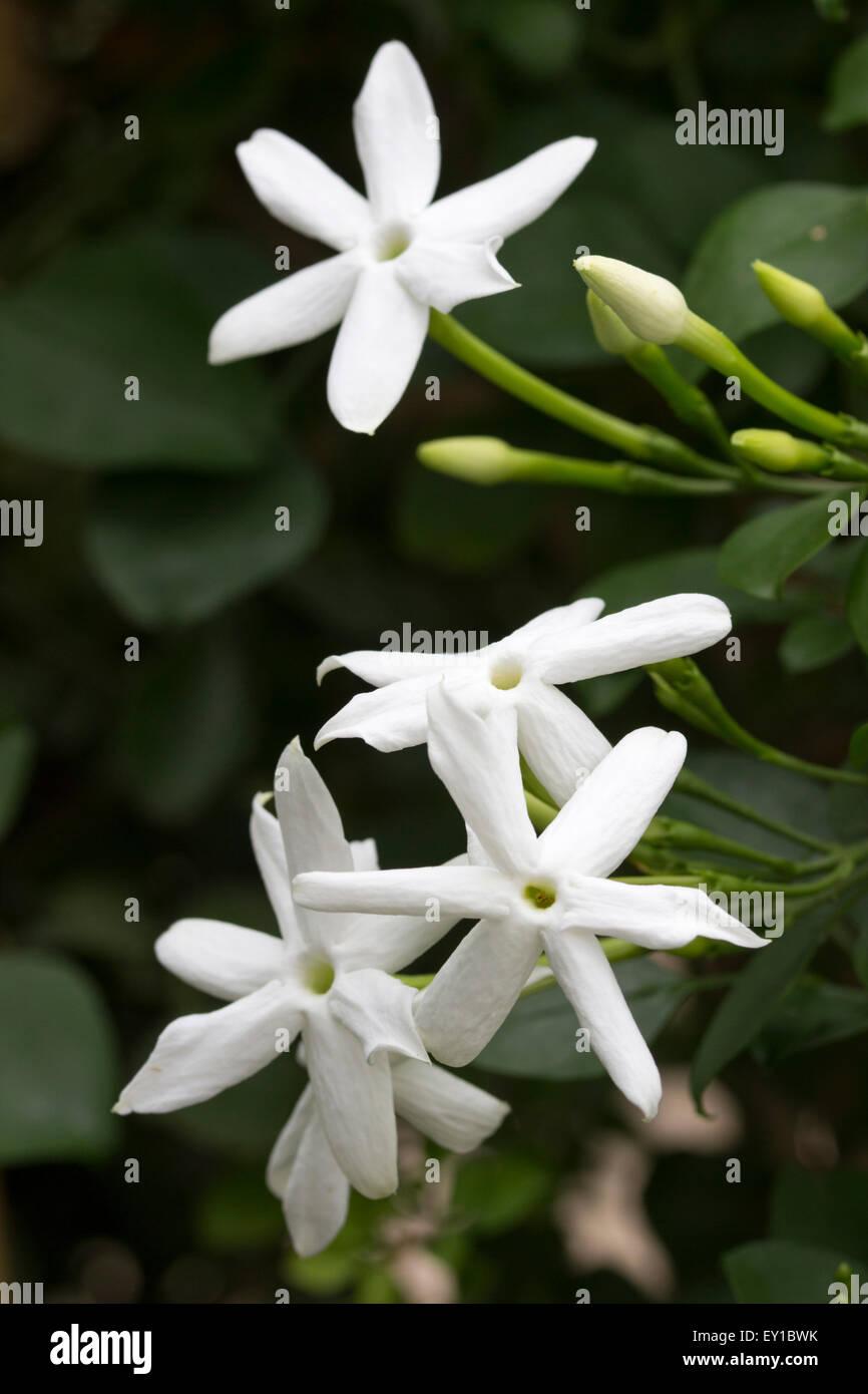 Fragrant flowers of the tender Madeiran vine, Jasminum azoricum - Stock Image