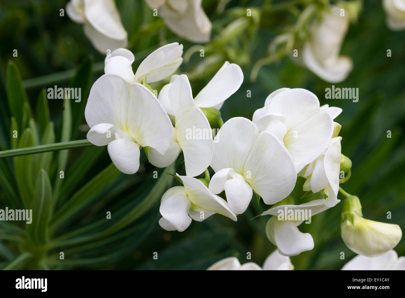 Pure White Flowers Fo The Perennial Climbing Pea Lathyrus