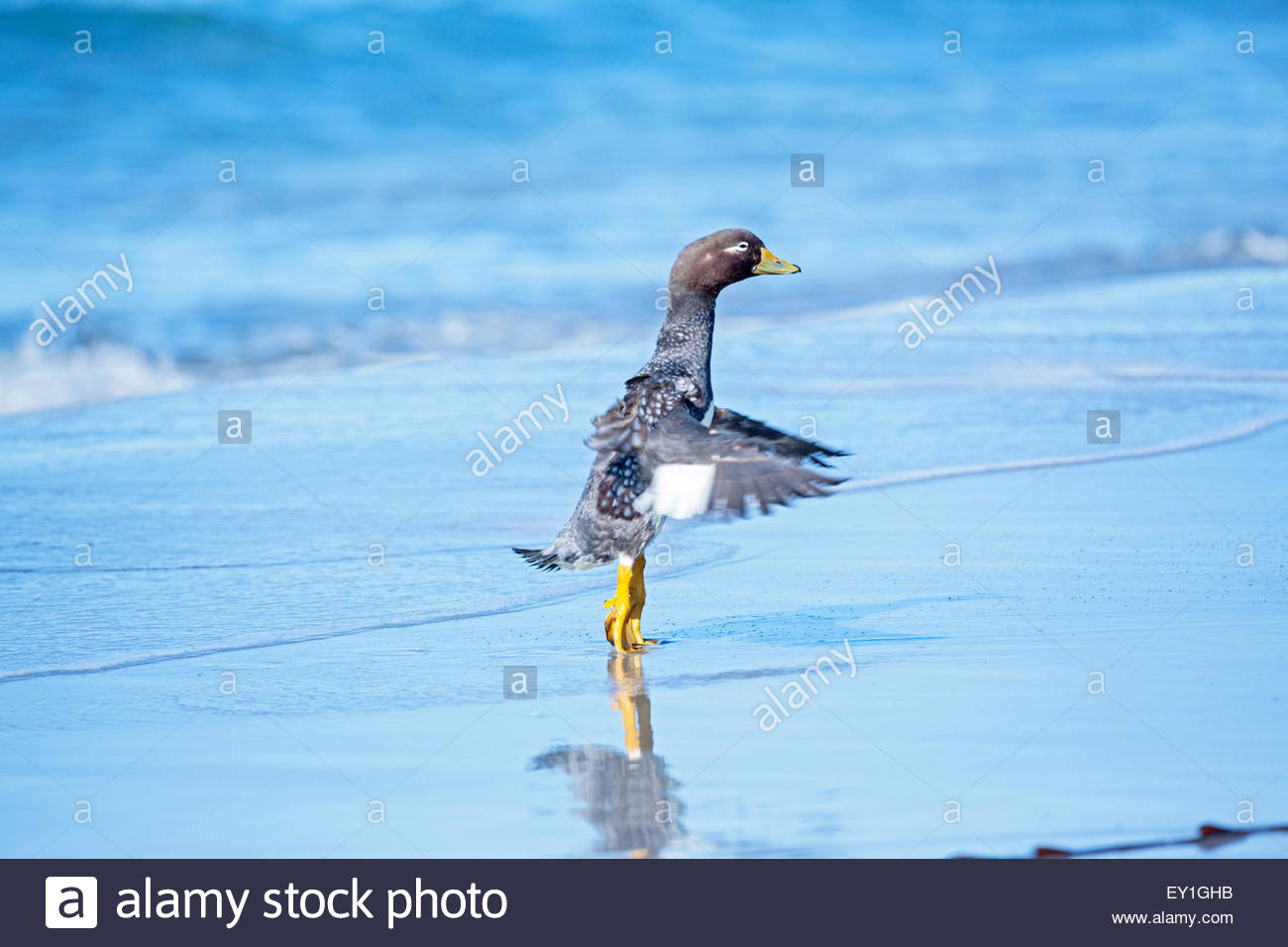 Steamer duck (Tachyeres brachypterus), Sea Lion Island, Falkland Islands, South Atlantic, South America - Stock Image