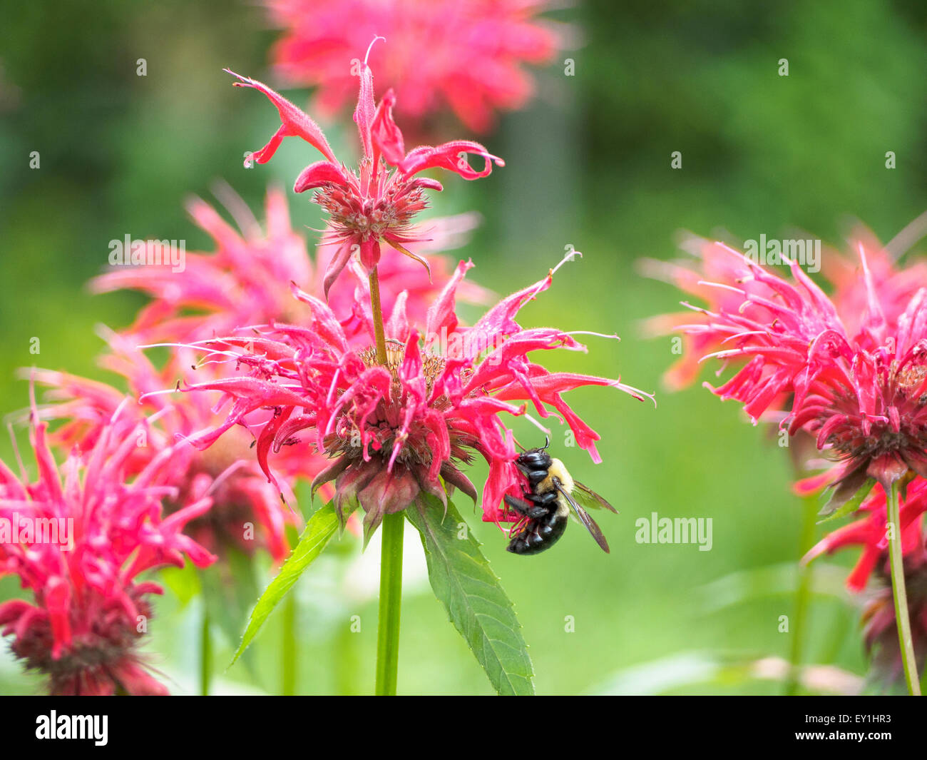 Pollen covered eastern carpenter bee Xylocopavirginica feeds on bee balm Monarda didyma aka bergamot horsemintOswego - Stock Image