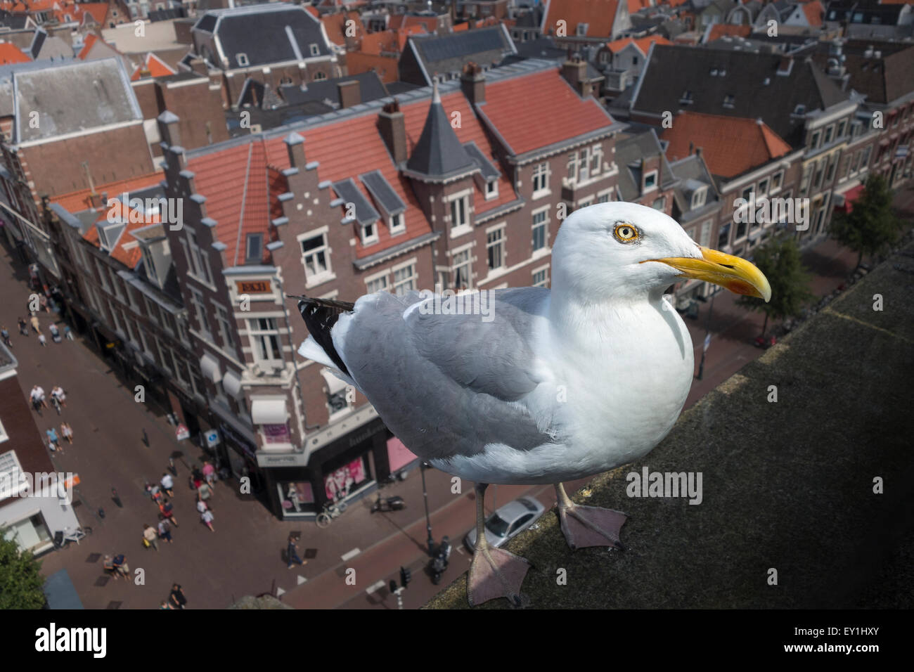 A large Dutch Seagull, Herring Gull (Larus argentatus argenteus) on a roof high above the city of Haarlem, The Netherlands. Stock Photo