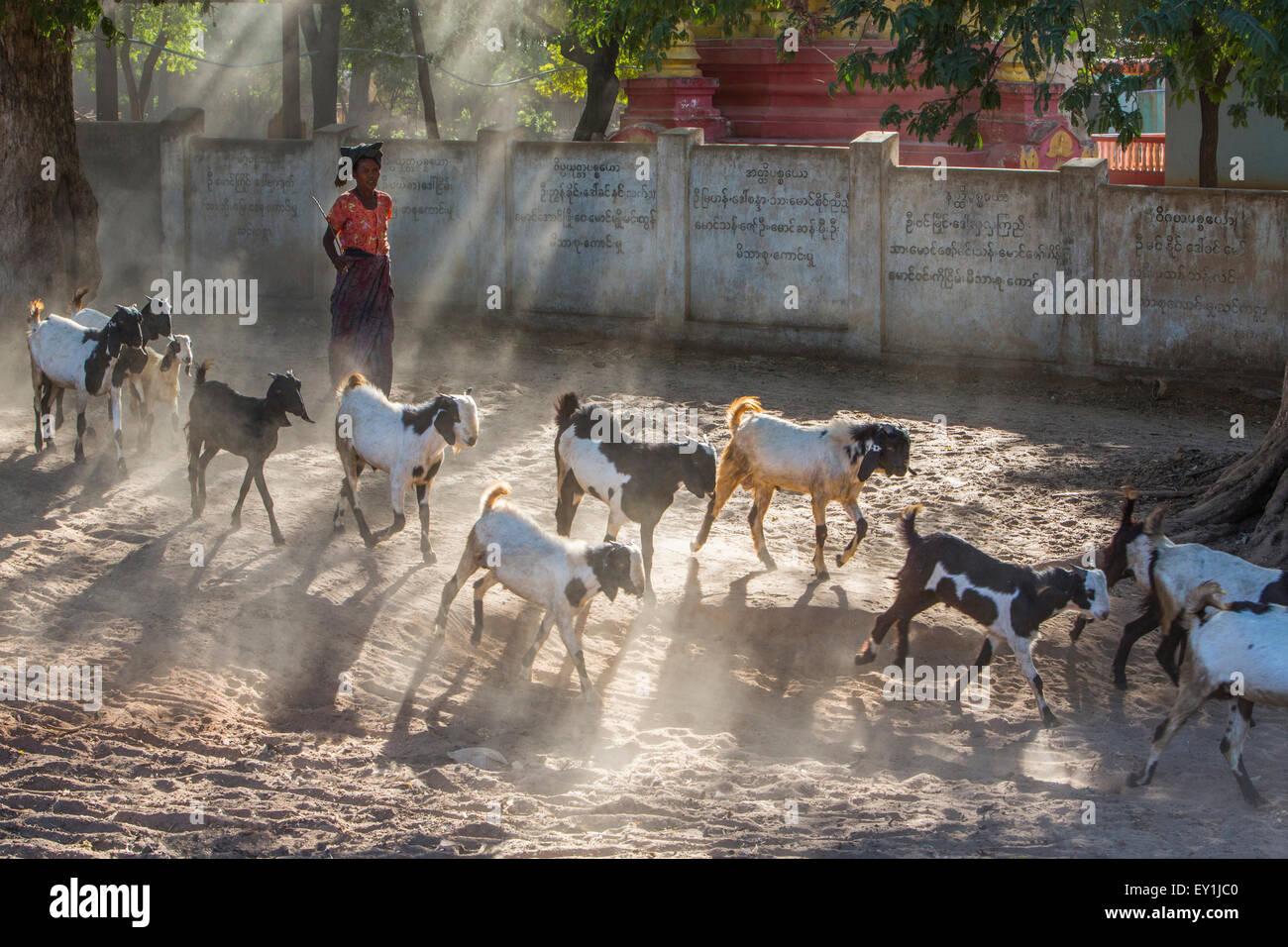 Goat hearding in Salay, Myanmar - Stock Image
