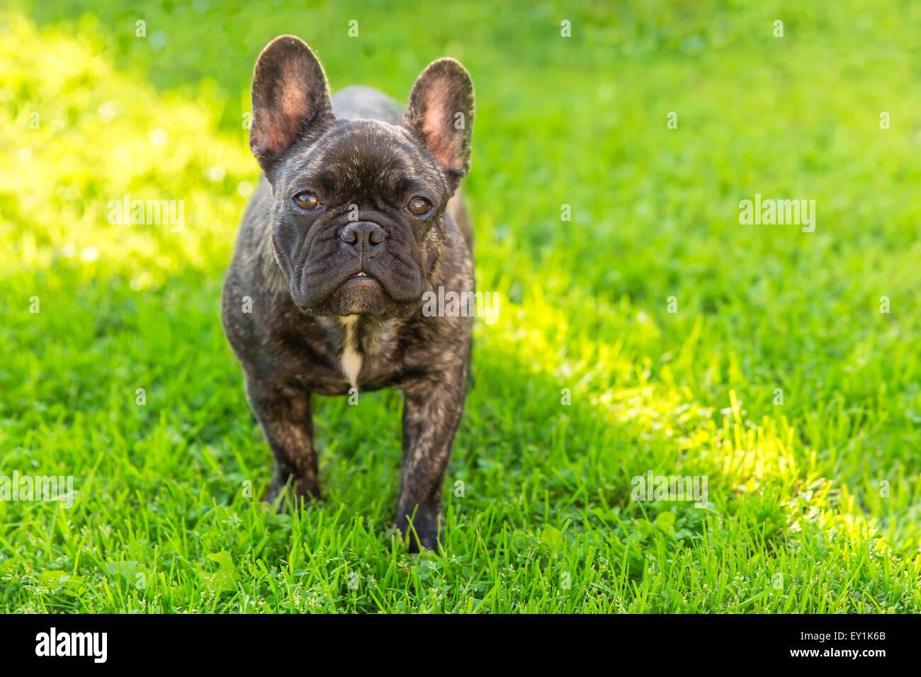 cute domestic dog brindle French Bulldog breed - Stock Image
