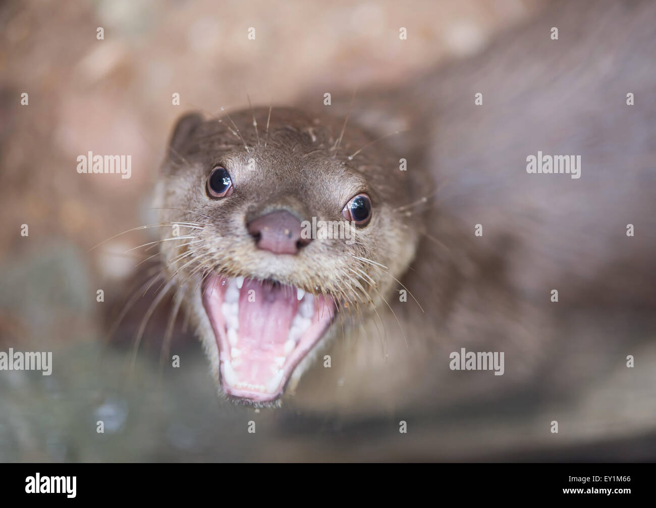 Smooth coated otter ( Lutrogale perspicillata ) Stock Photo
