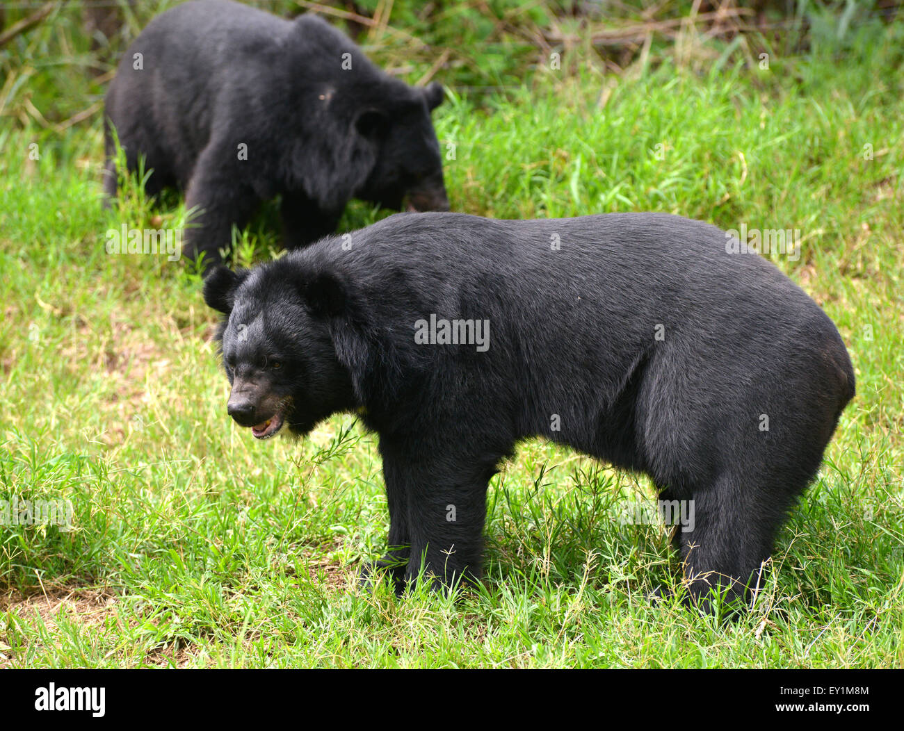 asiatic black bear or moon bear (ursus thibetanus) - Stock Image