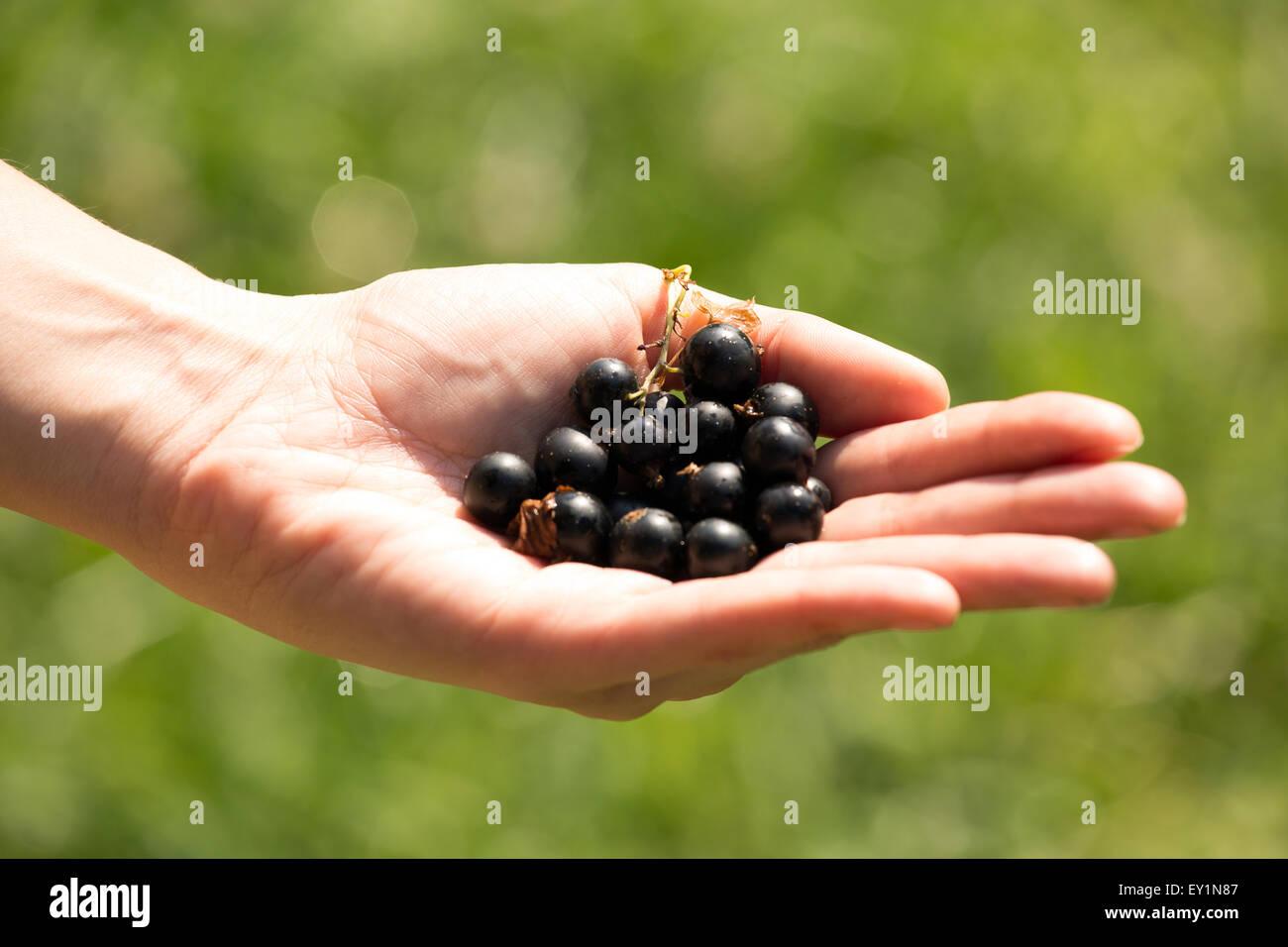 A handful of ripe blackberries in the women's hands - Stock Image