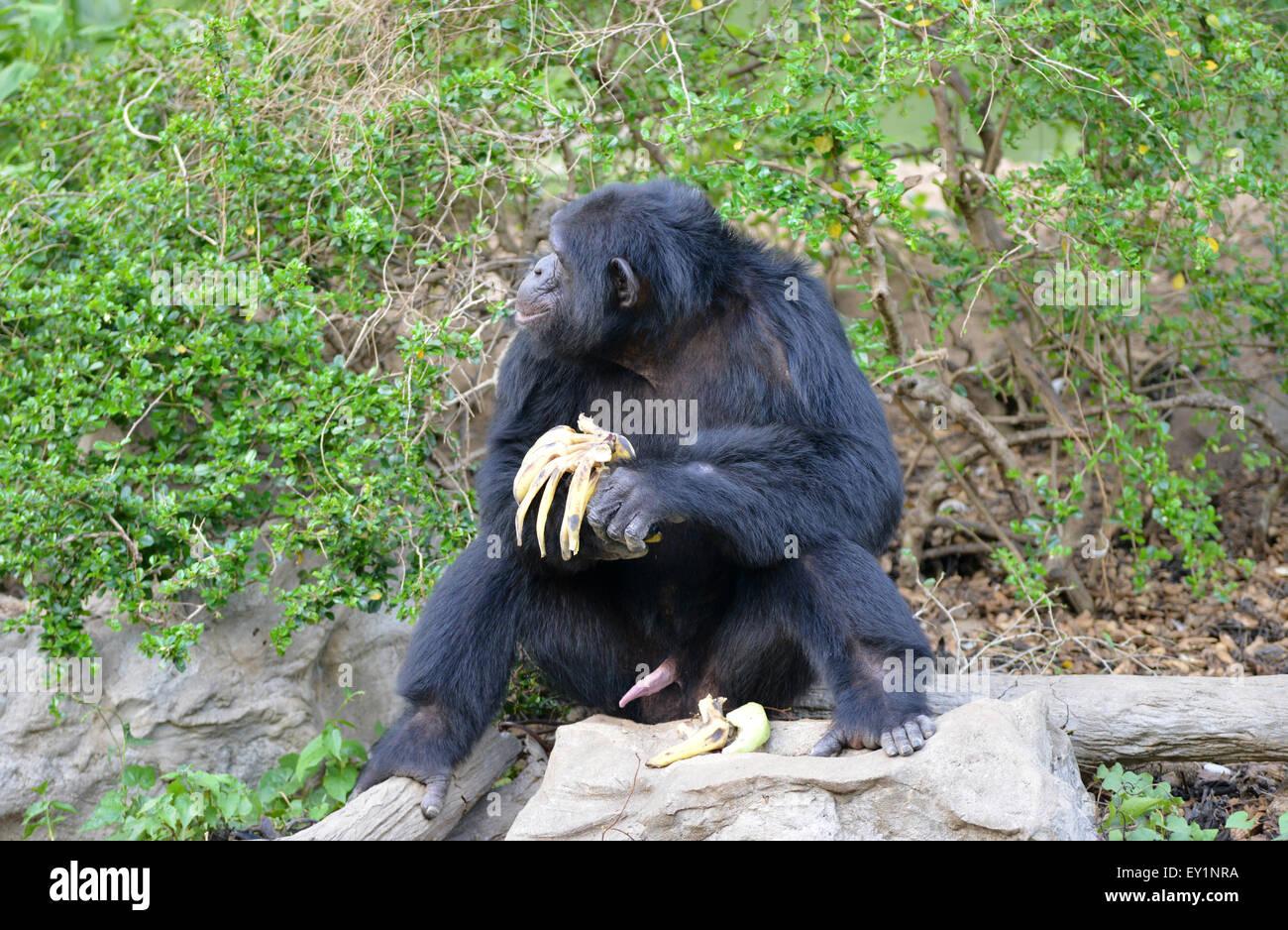 Chimpanzee Eating Banana In Zoo Stock Photo 85476254 Alamy