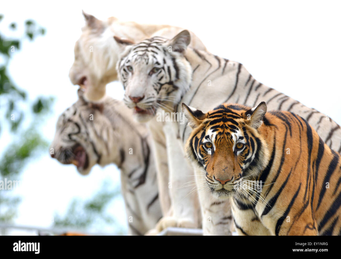 Tiger show stock photos tiger show stock images alamy - Show me a picture of the tiger ...