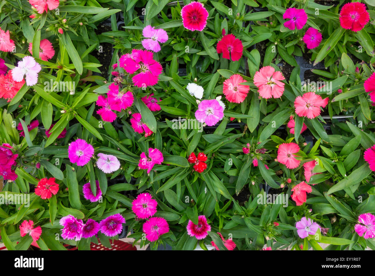 Dianthus marquis hardy pinks mixed flowers in a garden centre for dianthus marquis hardy pinks mixed flowers in a garden centre for sale ready for spring planting mightylinksfo