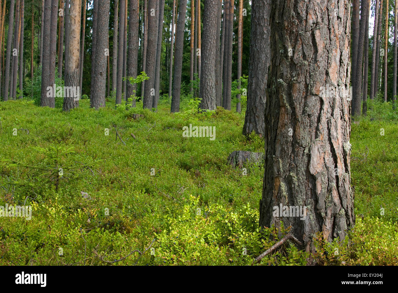Pine forest floor covered with blueberry bushes Stock Photo