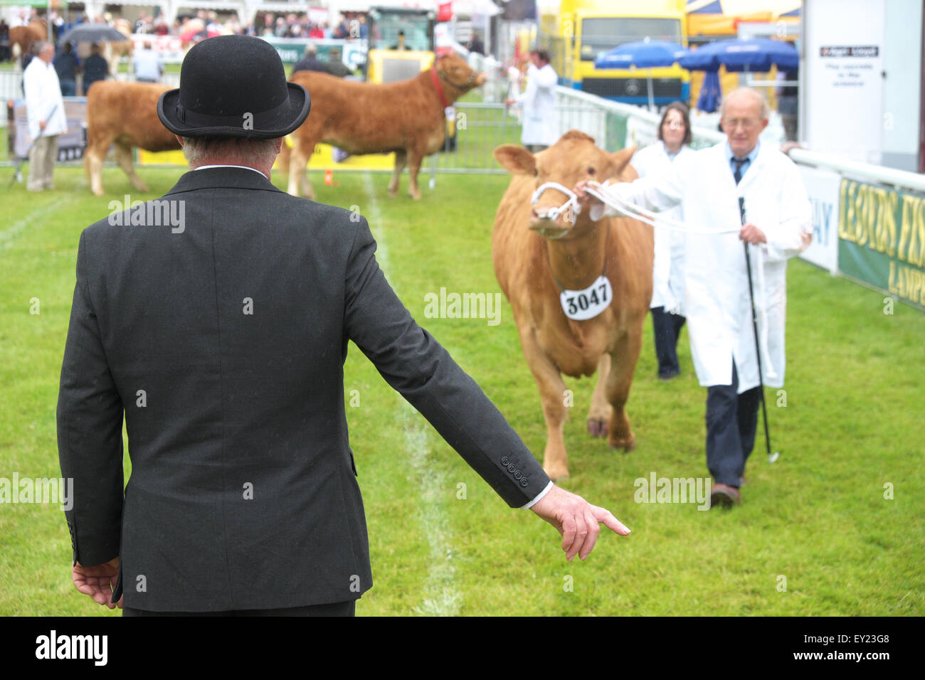 Royal Welsh Show Builth Wells, Powys, UK July, 2015. A judge inspecting South Devon Cattle in the show arena. The - Stock Image