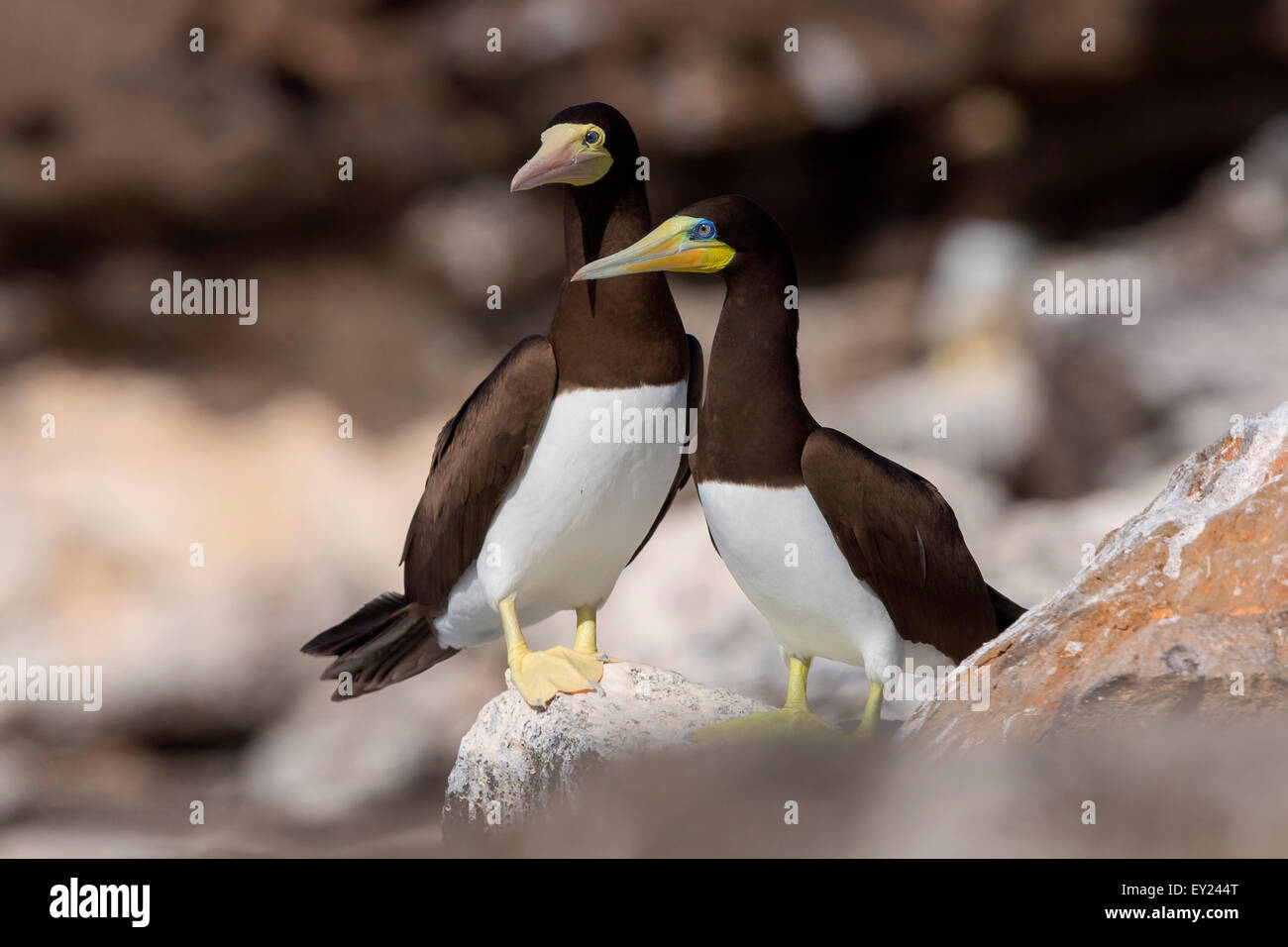 Brown Booby, adult, pair, Raso, Cape Verde (Sula leucogaster) - Stock Image