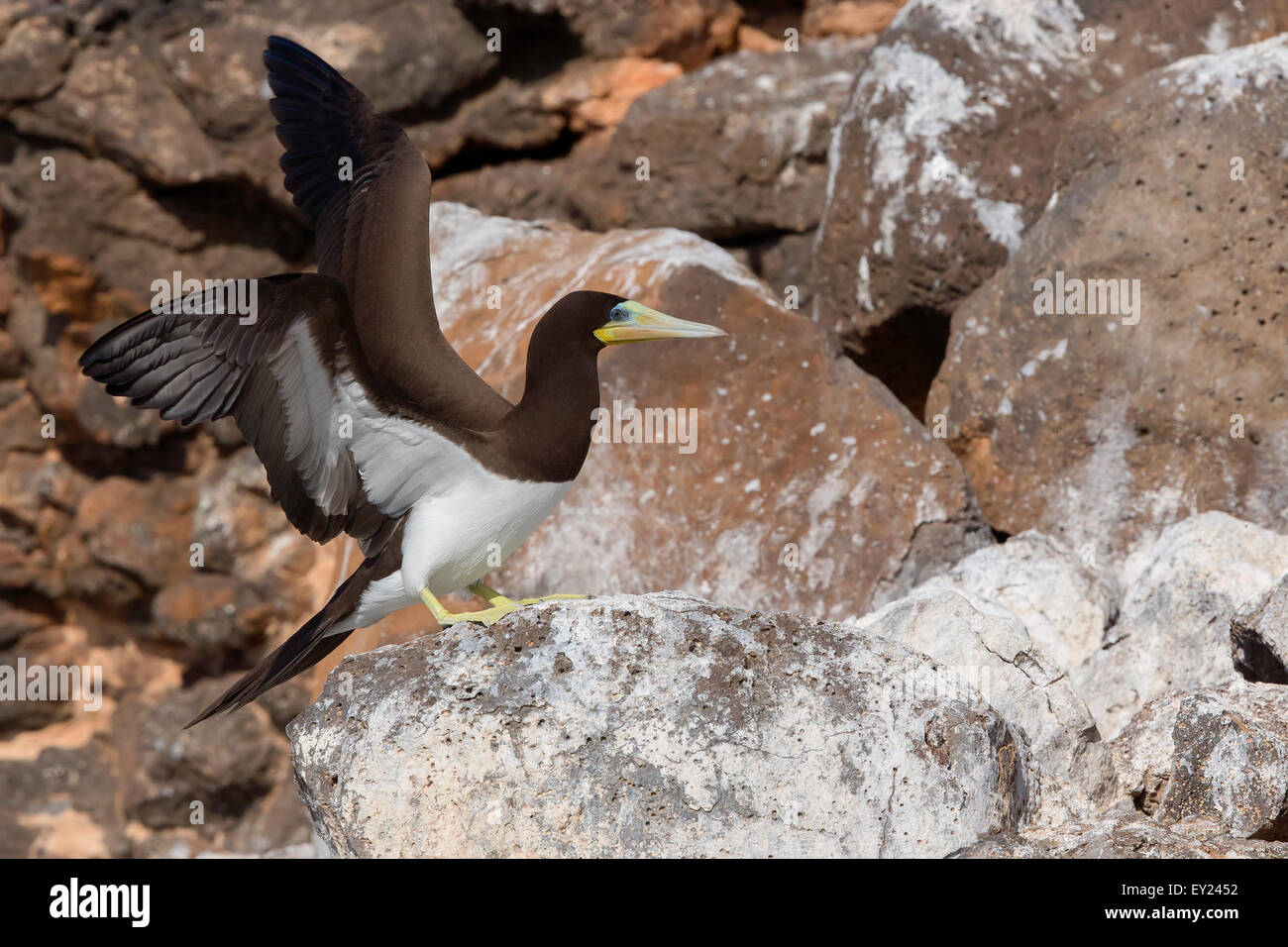 Brown Booby, adult, Raso, Cape Verde (Sula leucogaster) - Stock Image