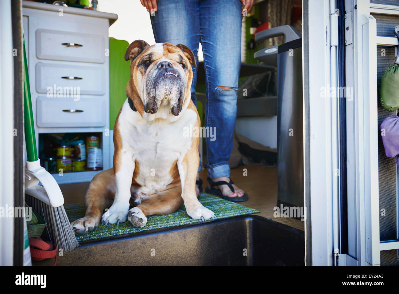 Portrait of bulldog and womans legs in trailer doorway - Stock Image