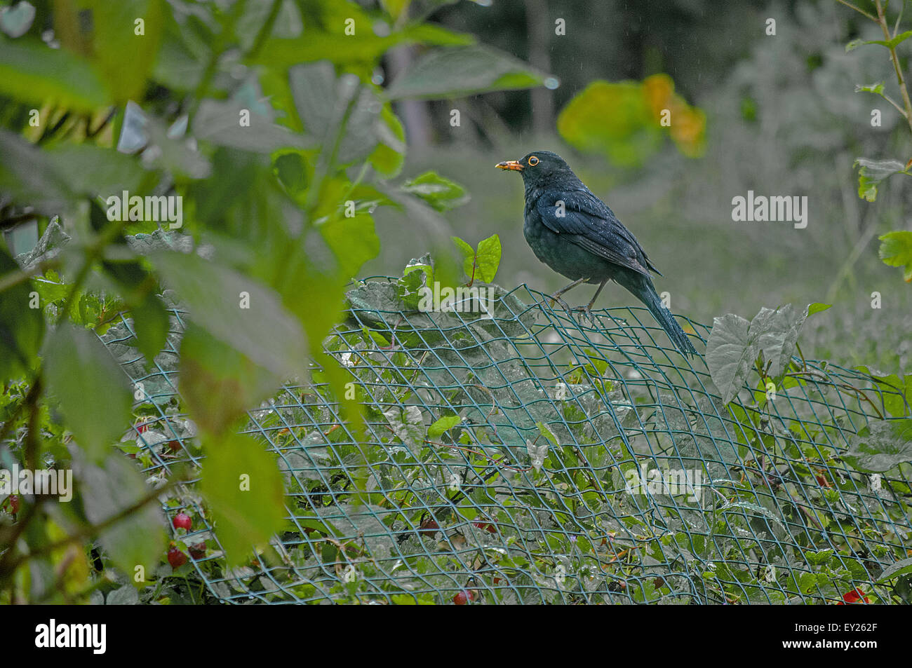 A blackbird perches on some wire mesh - Stock Image