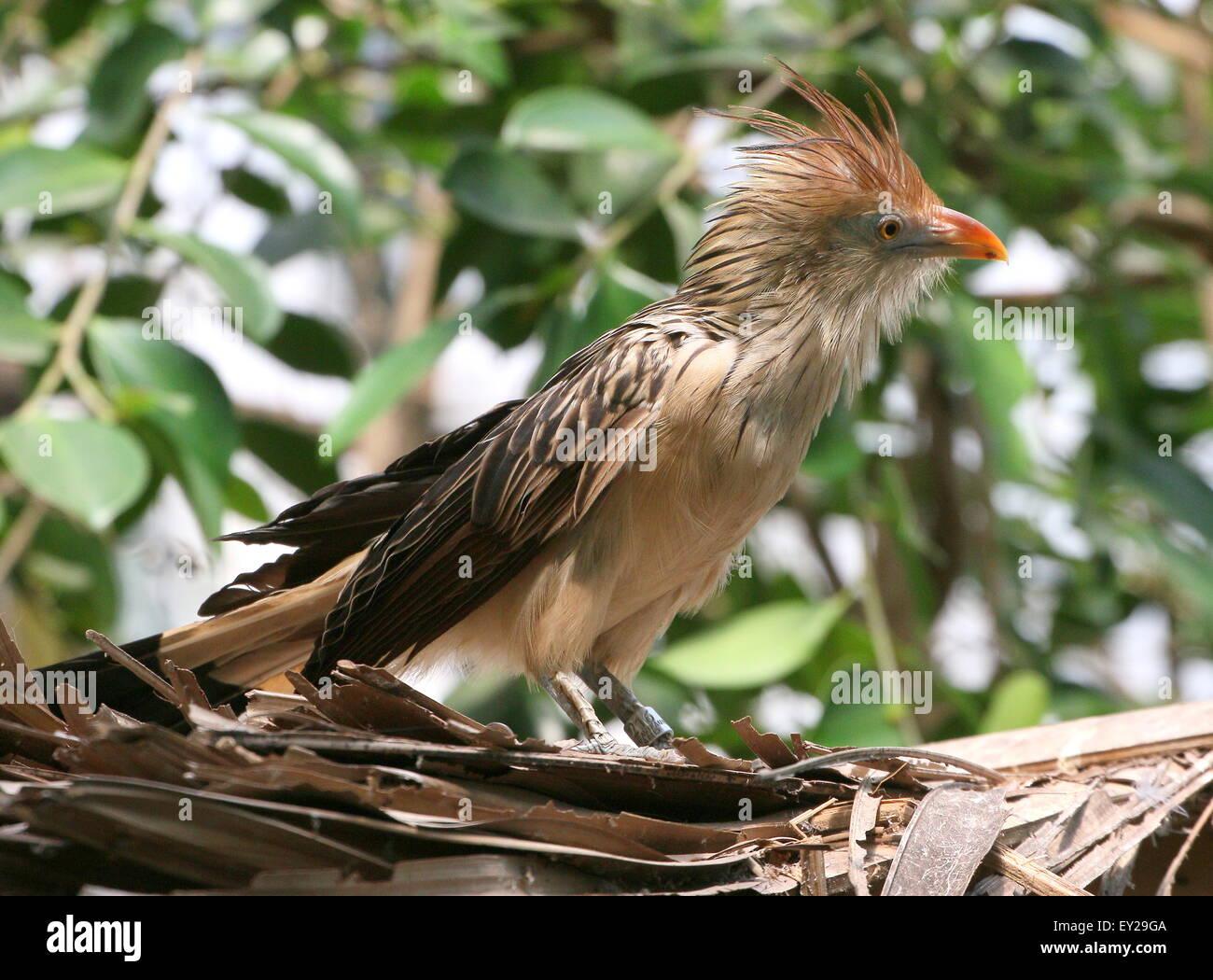 South American Guira cuckoo (Guira guira) posing on a roof, seen in profile - Stock Image