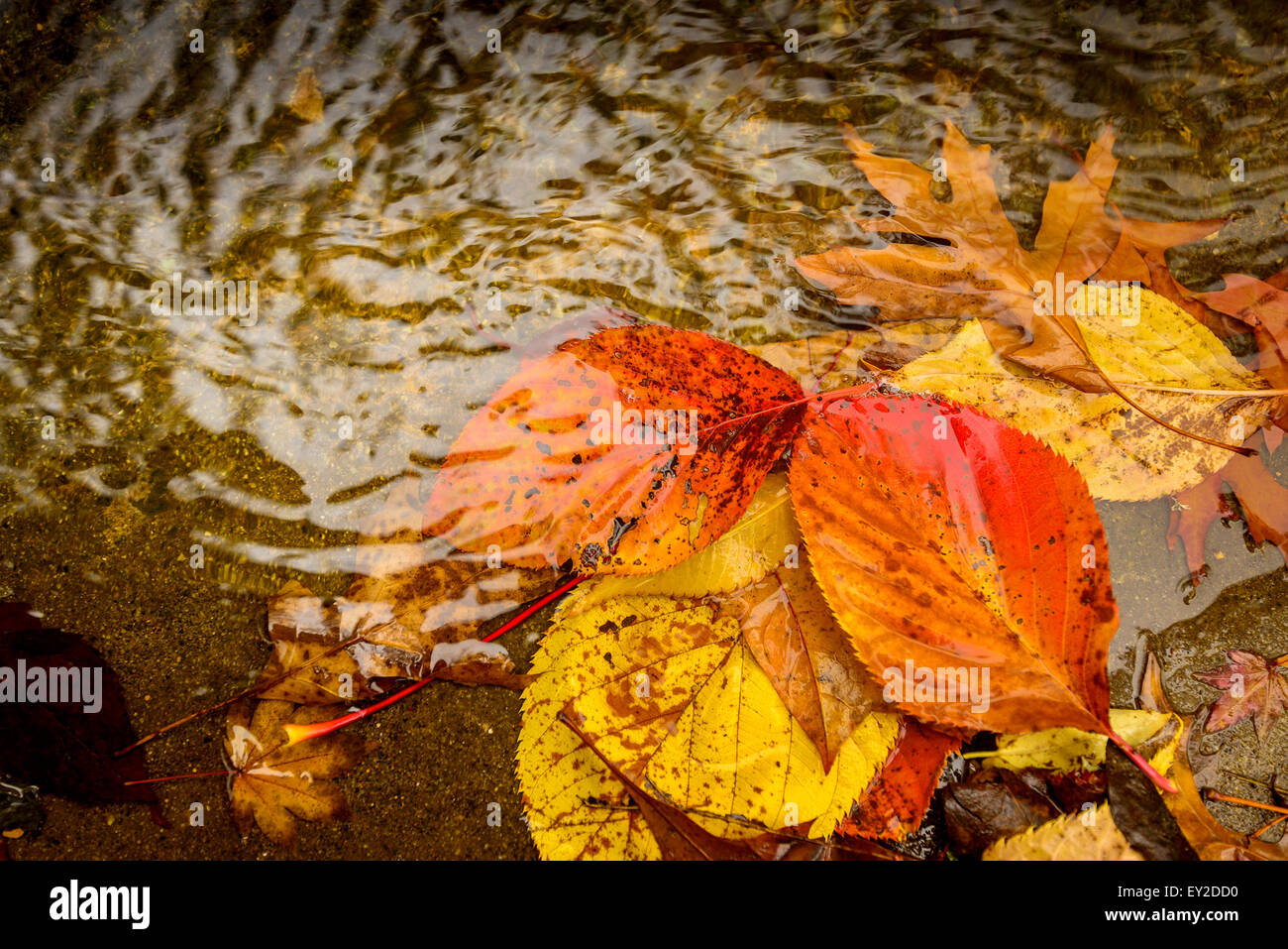 Colored autumn leaves in the puddle in warm tones - Stock Image