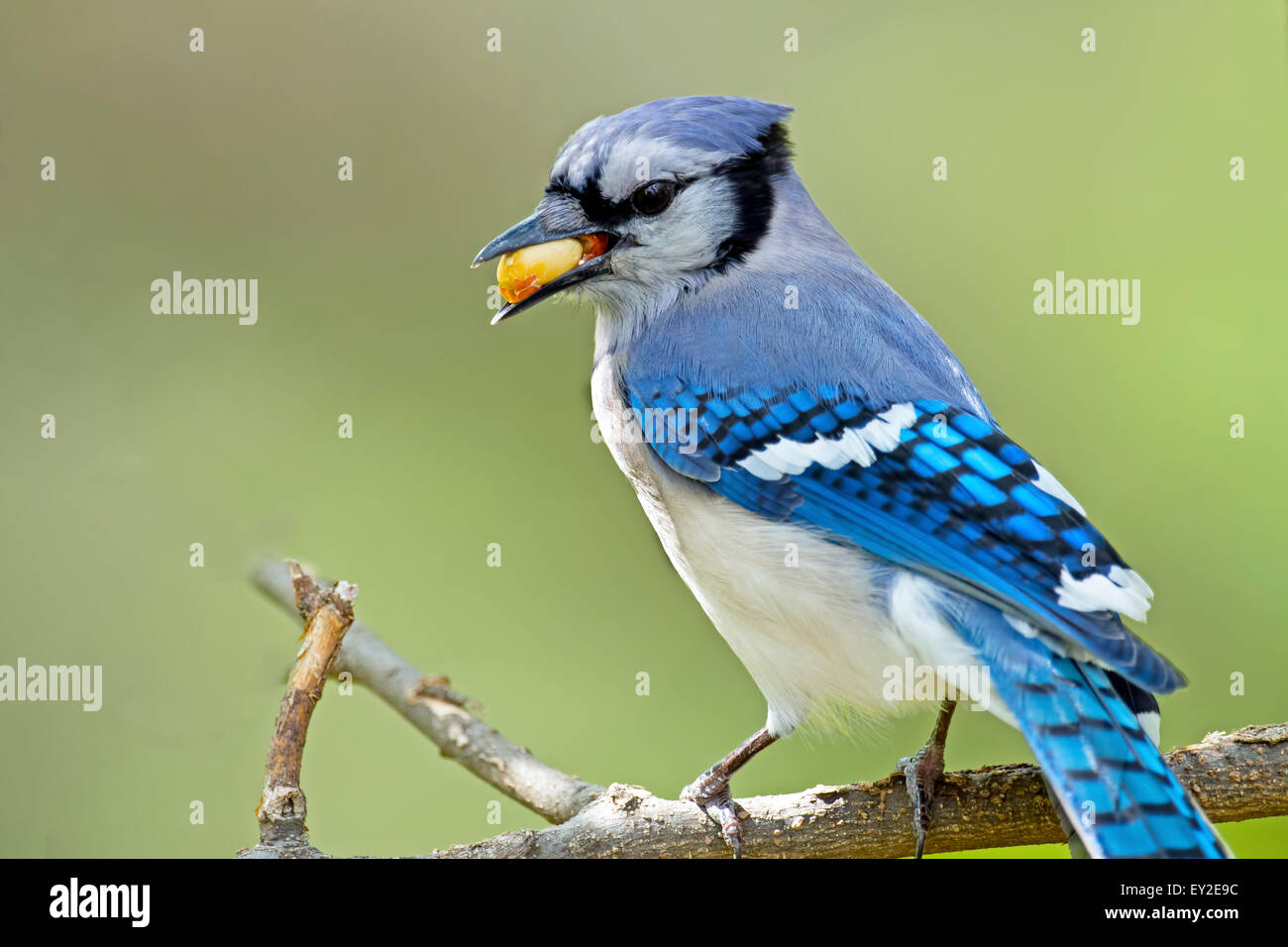 Blue Jay on Branch with Peanut in Mouth Stock Photo