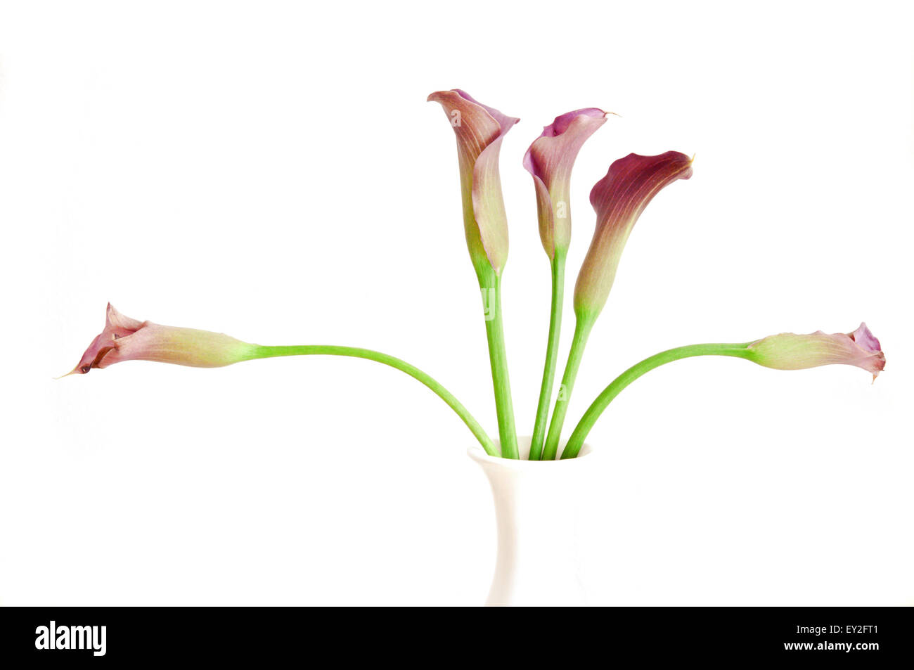 decaying Calla flowers in a white vase against a white wall - Stock Image