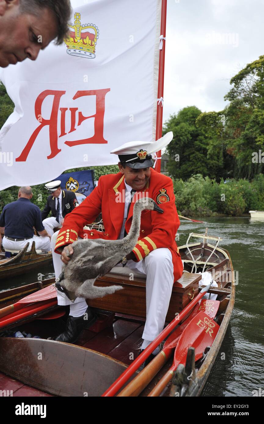 London, UK. 20th July 2015. The swan upping team travel along the river Thames capturing and measuring the year's - Stock Image