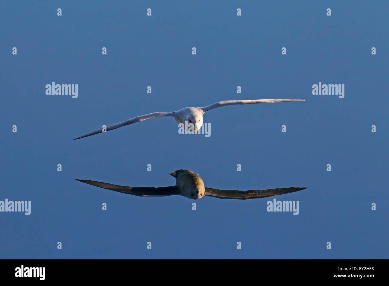 Northern fulmar / Arctic fulmar (Fulmarus glacialis) gliding above the sea water - Stock Image