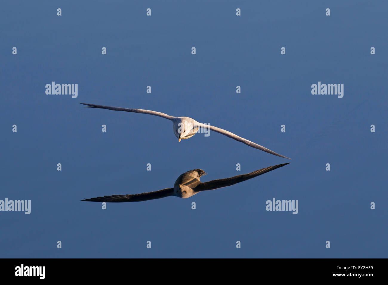 Northern fulmar / Arctic fulmar (Fulmarus glacialis) soaring above the sea water - Stock Image