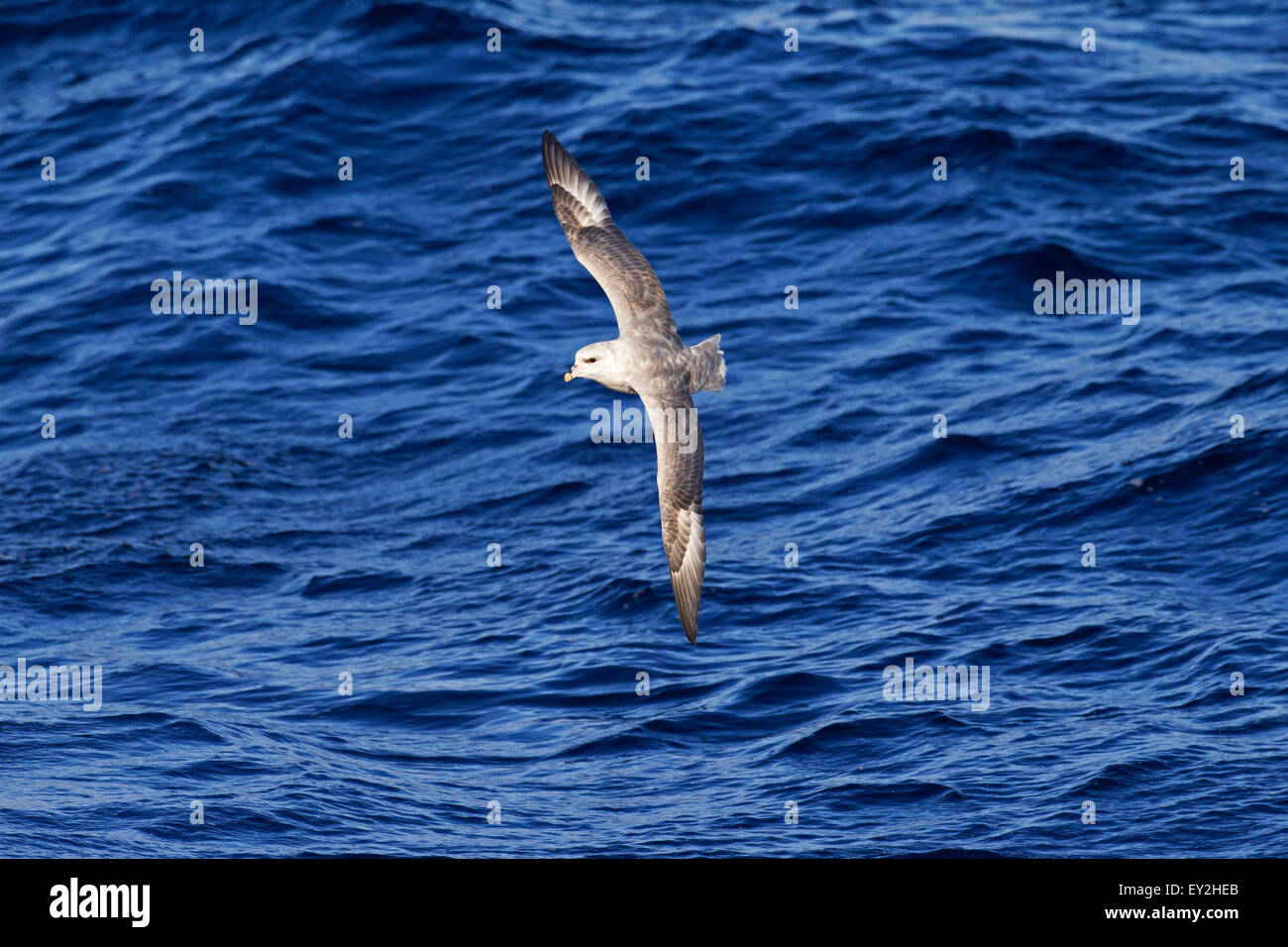 Northern fulmar / Arctic fulmar (Fulmarus glacialis) soaring above the sea water - Stock Image