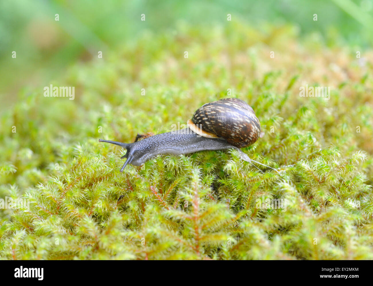 A copse snail (Arianta arbustorum) crawls across damp moss in wet oak woods leaving a trail of slime above Derwent Stock Photo