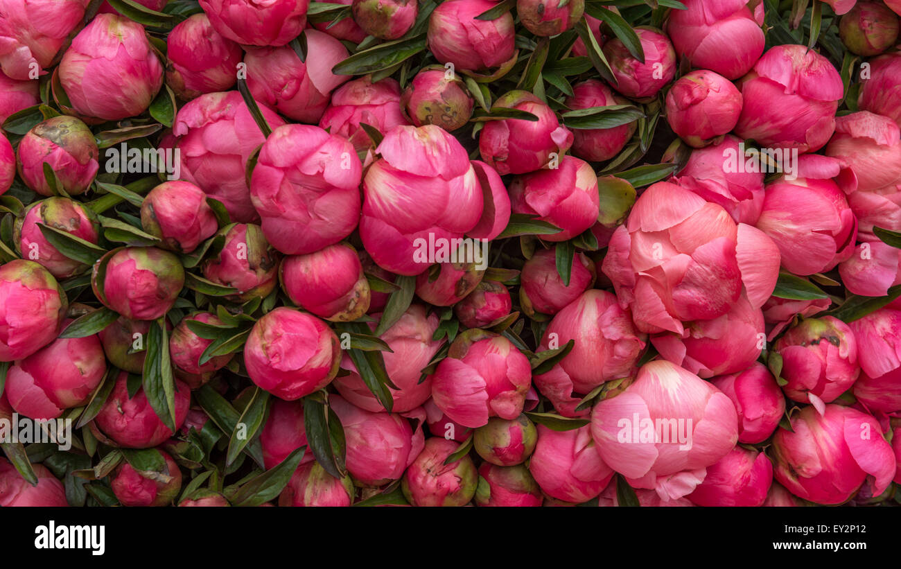 Multiple Closed Round Pink Peony Flowers On Display On A Market