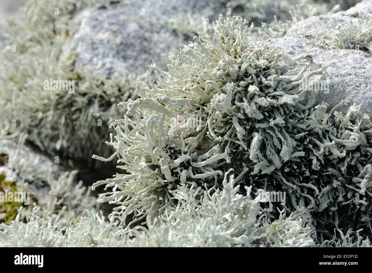 Luxurious, vigorous lichens grow on a stone wall above the beach of Village Bay, evidence of the unpolluted Atlantic - Stock Image
