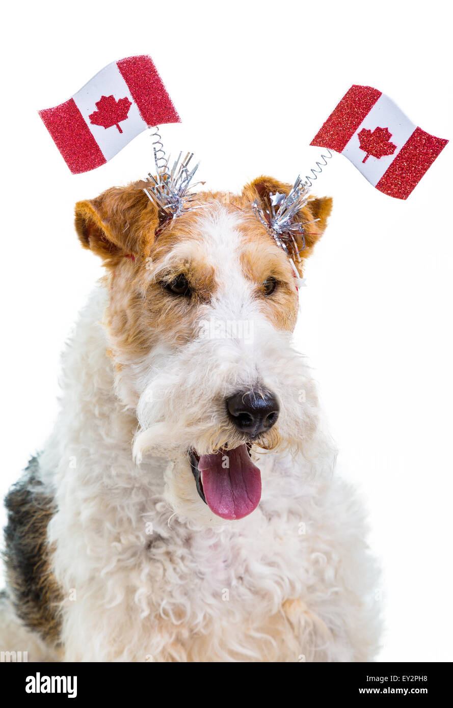 Wire Fox Terrier Stock Photos & Wire Fox Terrier Stock Images - Alamy