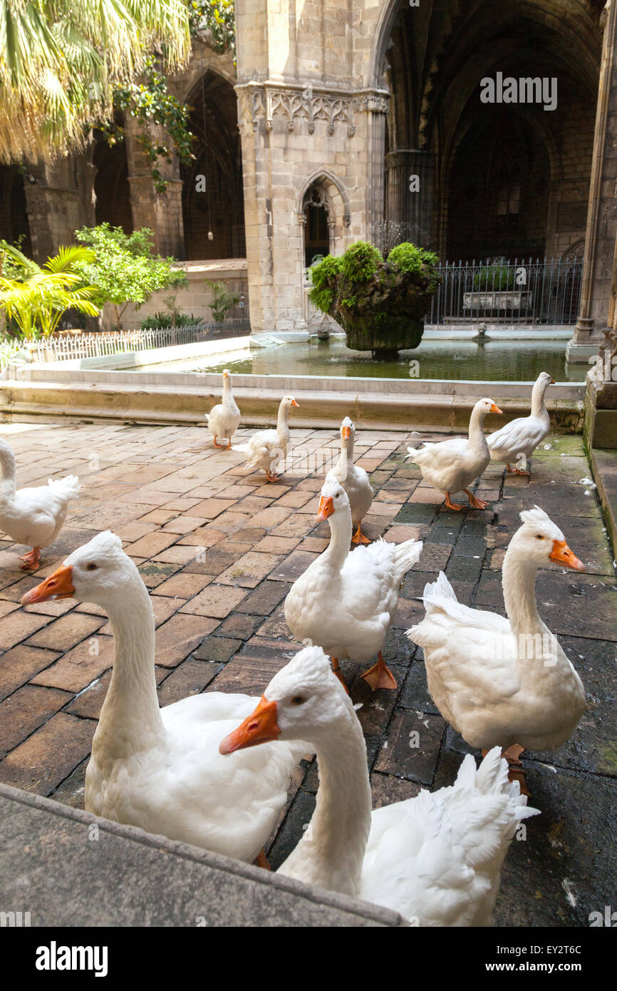 The geese which are traditionally kept inside Barcelona Cathedral, Gothic Quarter ( Barri Gotic ), Barcelona Spain - Stock Image