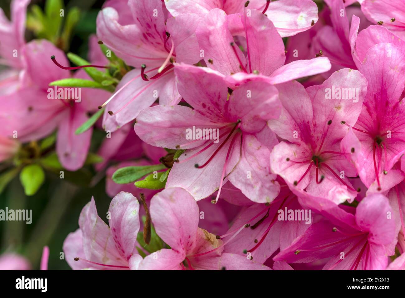 Pink Azalea bushes in the Garden of Buckland Abbey; Yelverton; Devon; England   Rosa pink Azaleea Buesche in Garten Stock Photo