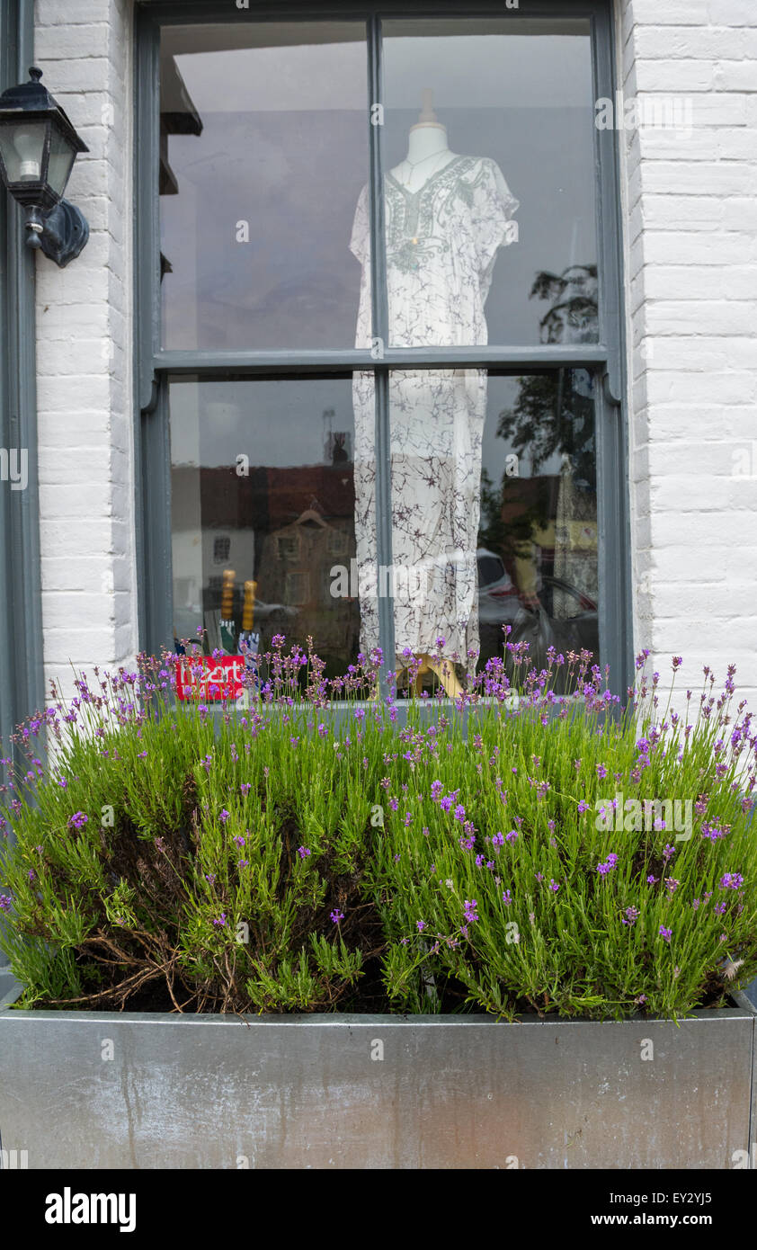 Young Lavender Plants In Flower In A Window Box Outside A Womens