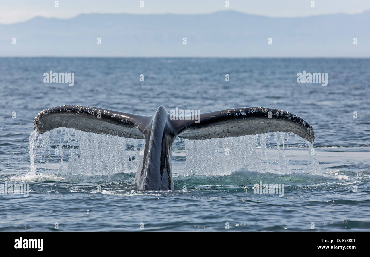 Detailed front view of a Humpback Whale tail with water cascading off the trailing edge. - Stock Image