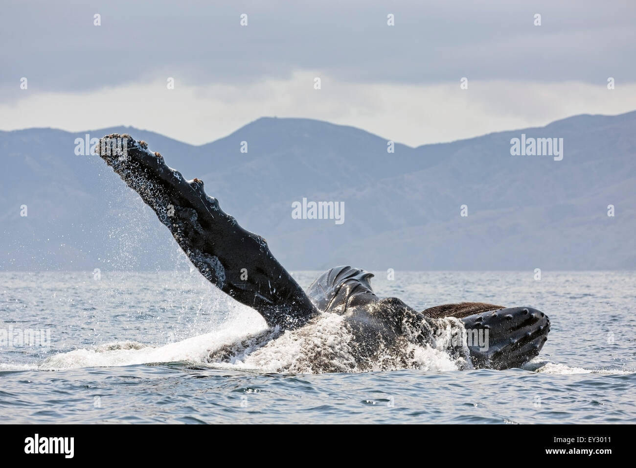 Huge pectoral fin in the air, a Humpback lunge-feeds in the Santa Barbara Channel with Santa Cruz Island in the - Stock Image
