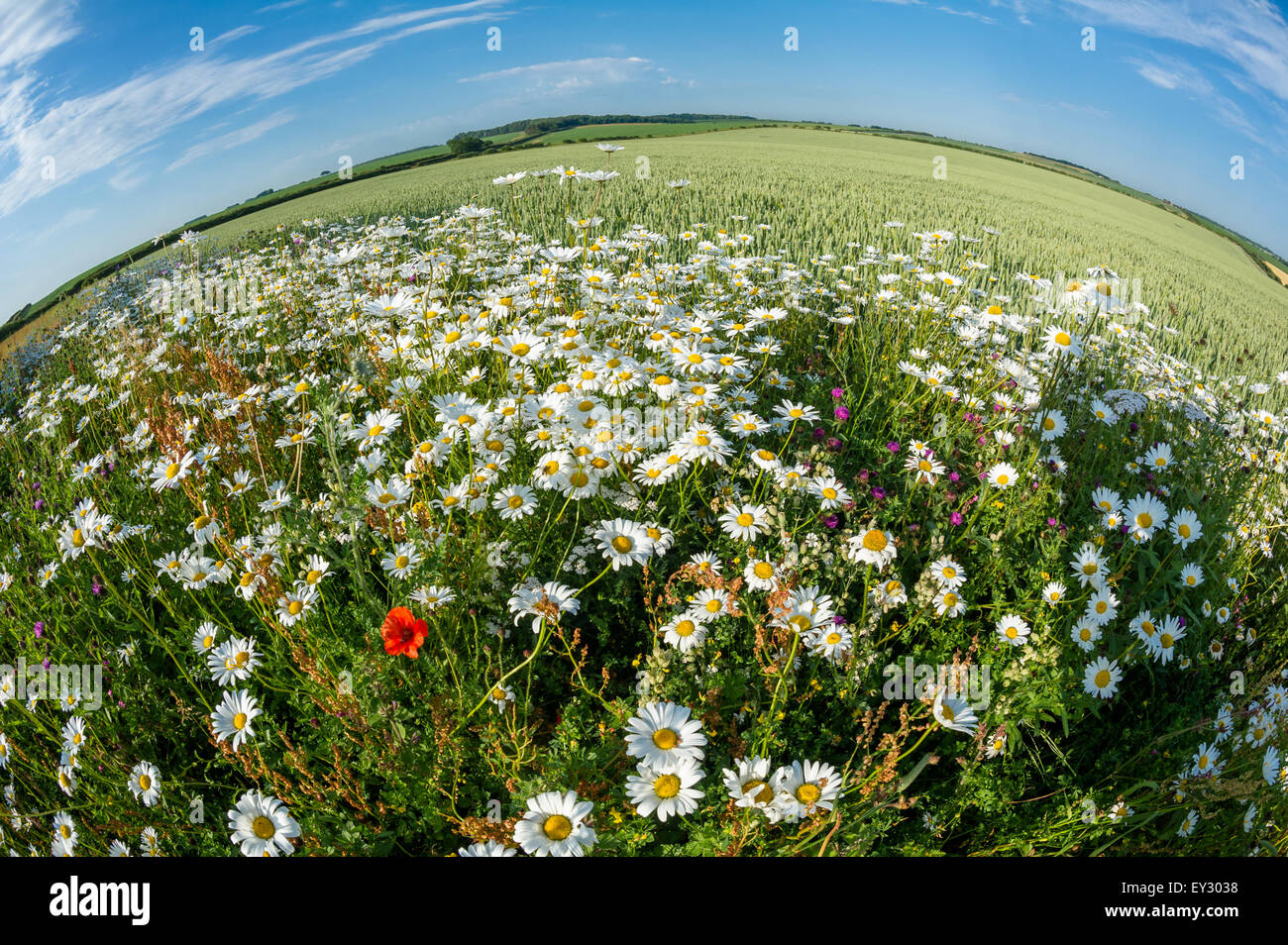 Land set a side of wild flowers such as poppies and daisies of pollinators, Norfolk, England. - Stock Image