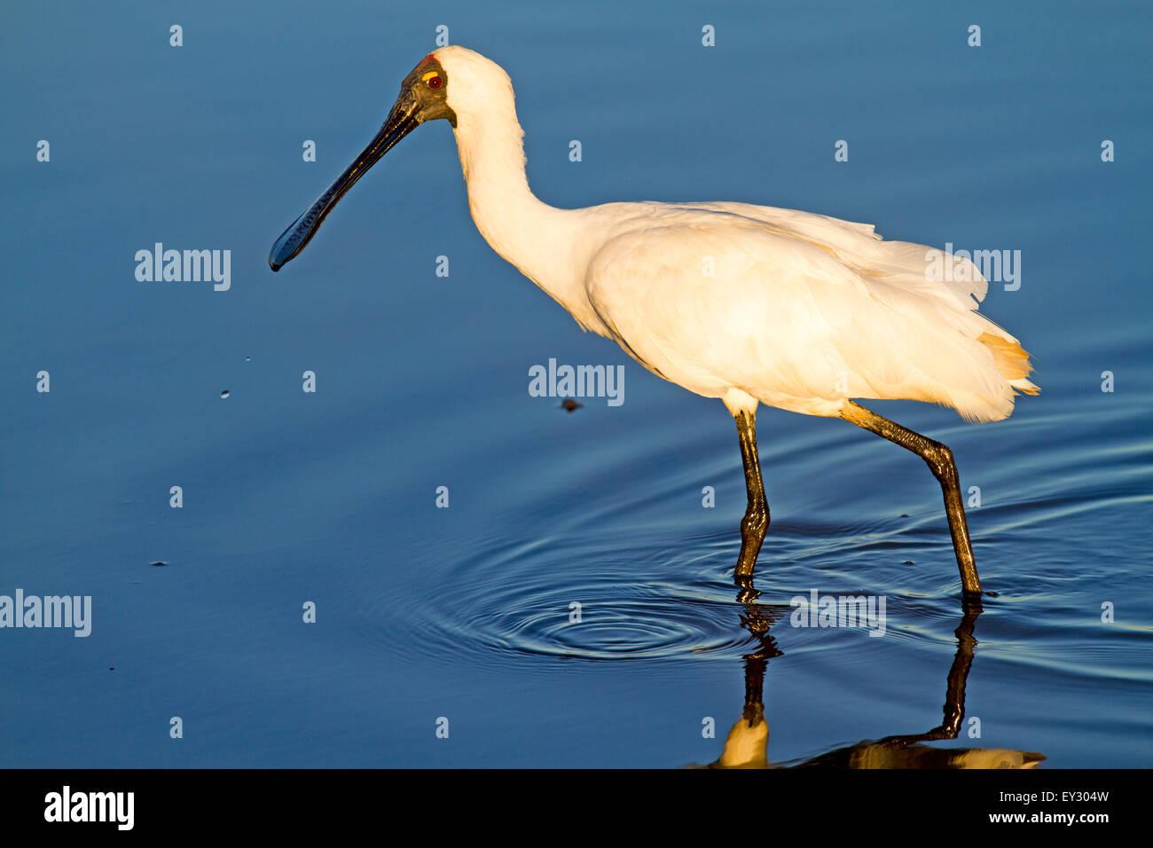 Spoonbill at Yellow Water Billabong - Stock Image