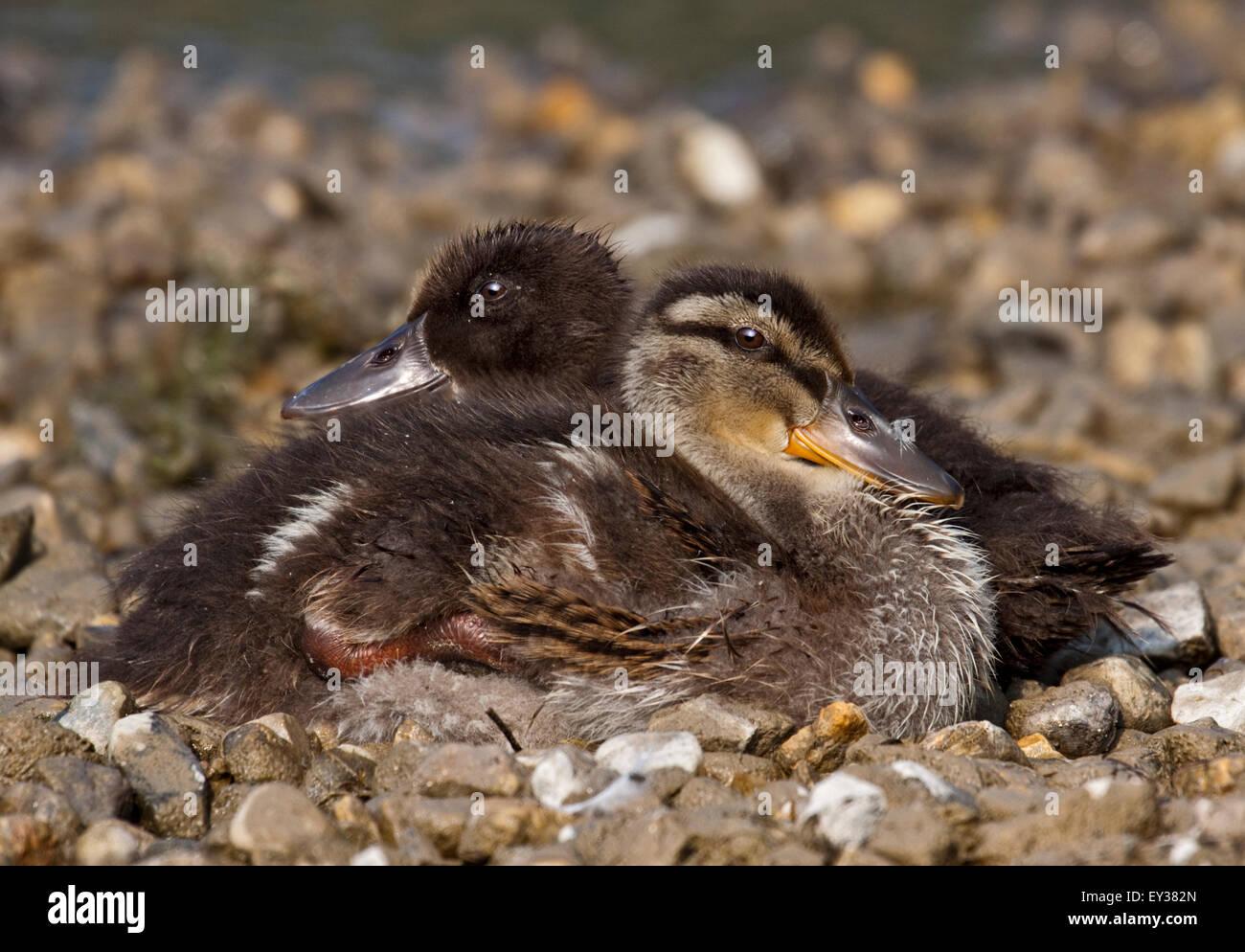 Pair of Mallard Ducklings (anas platyrhynchos), Lake Idro, Italy - Stock Image