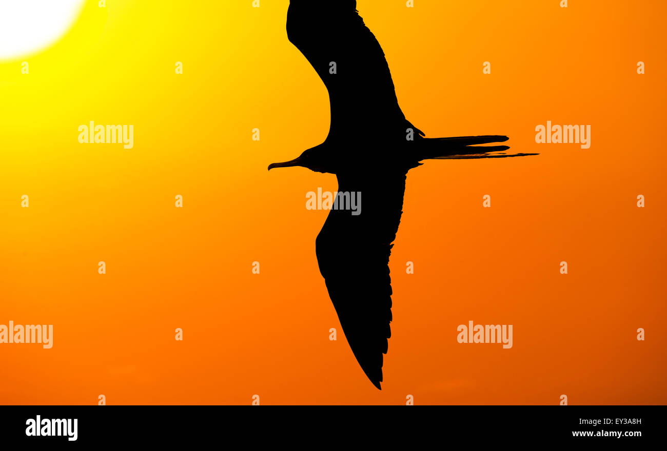 Bird flying silhouette is a strong and  inspirational image representing freedom, power, indepence, creativity and - Stock Image