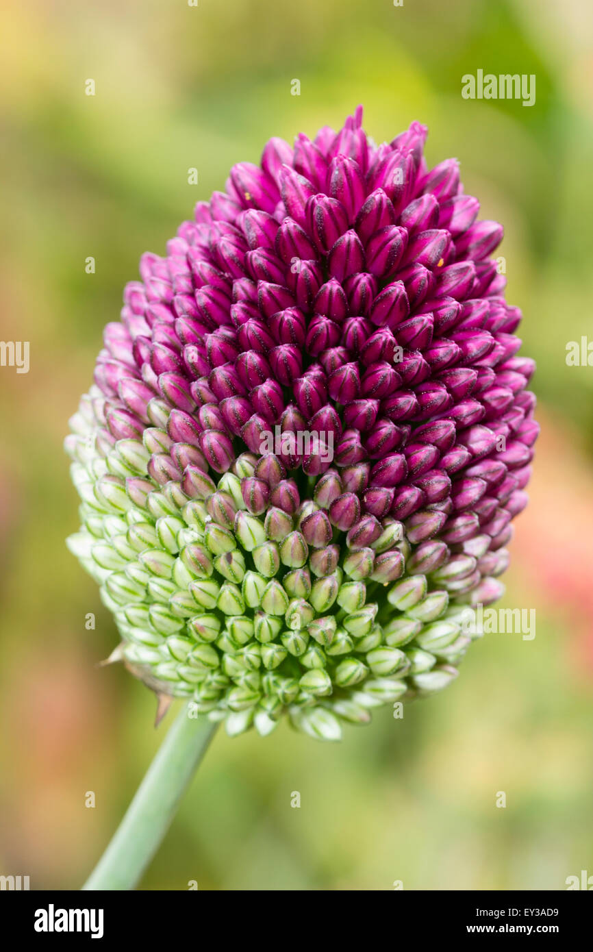 Tightly packed buds of the two toned drumstick onion, Allium sphaerocephalon - Stock Image