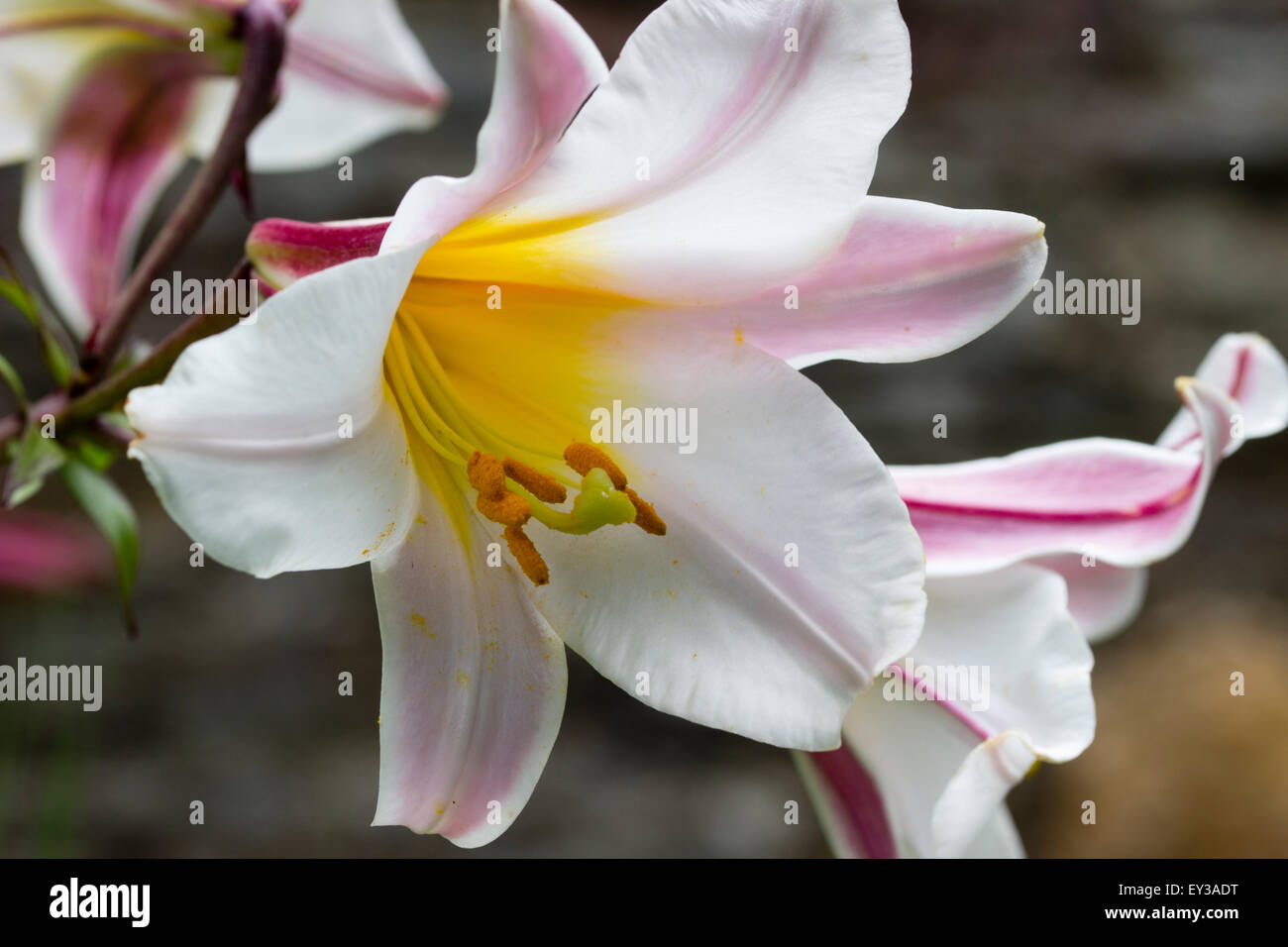Lilium Regale Stock Photos Lilium Regale Stock Images Alamy