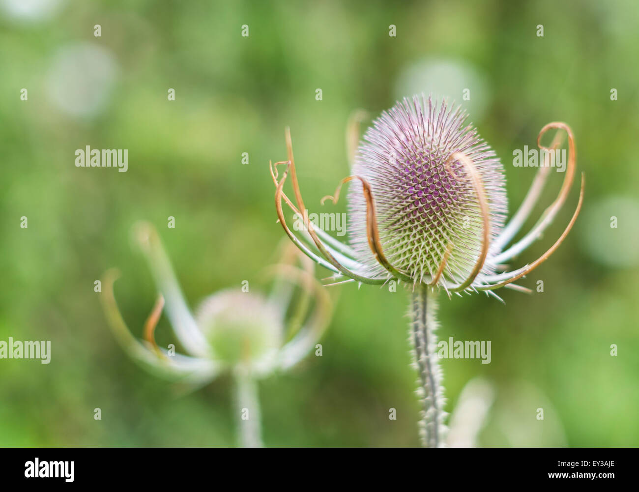 Head of a teasel plant ready to flower - Stock Image