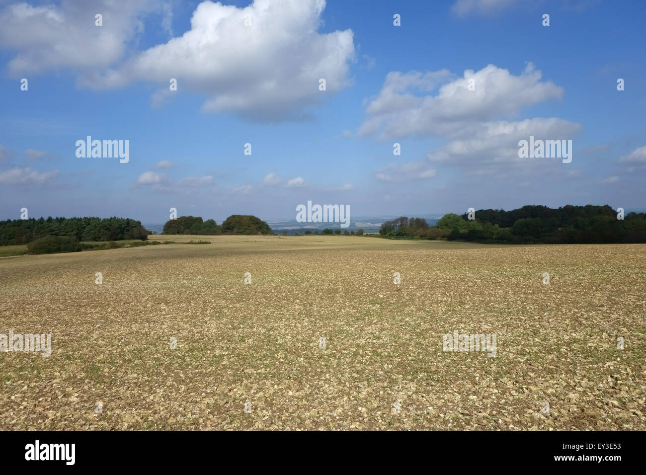 A seedling cereal crop germinating in a very stony chalk downland field in early autumn, Berkshire, September - Stock Image